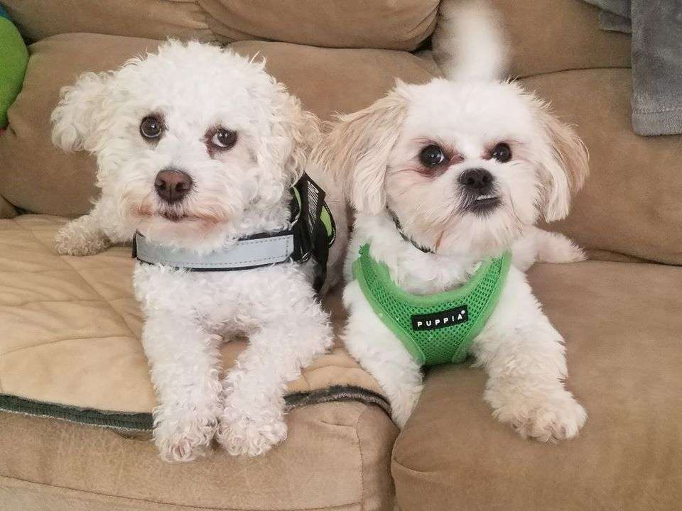 Kenzo Trotter and Kane Turner, two rescue dogs with Lend A Helping Paw Shih Tzu Rescue, on the couch