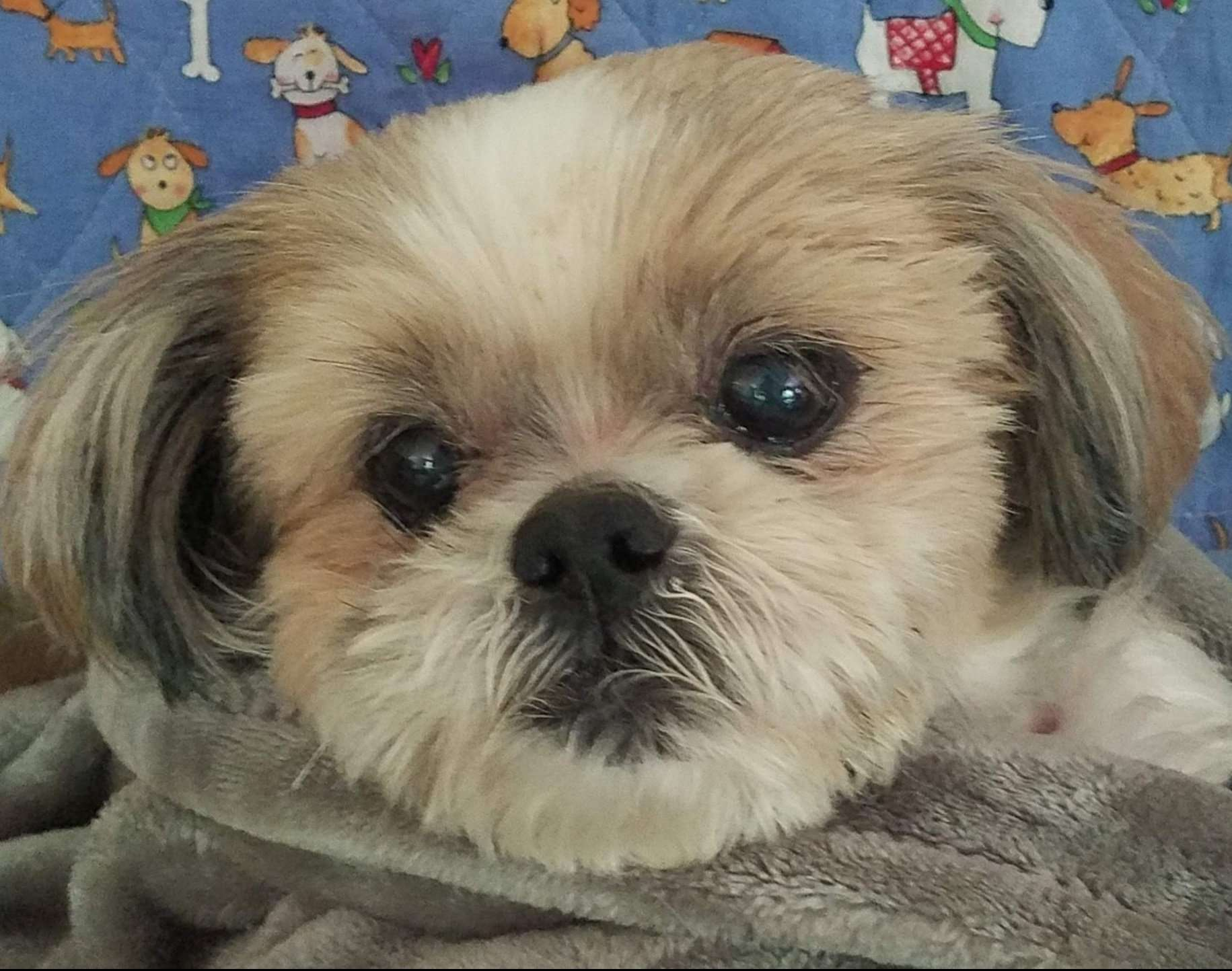Loki Turner, a Shih Tzu rescue dog with Lend A Helping Paw Shih Tzu Rescue (LAHPSTR)
