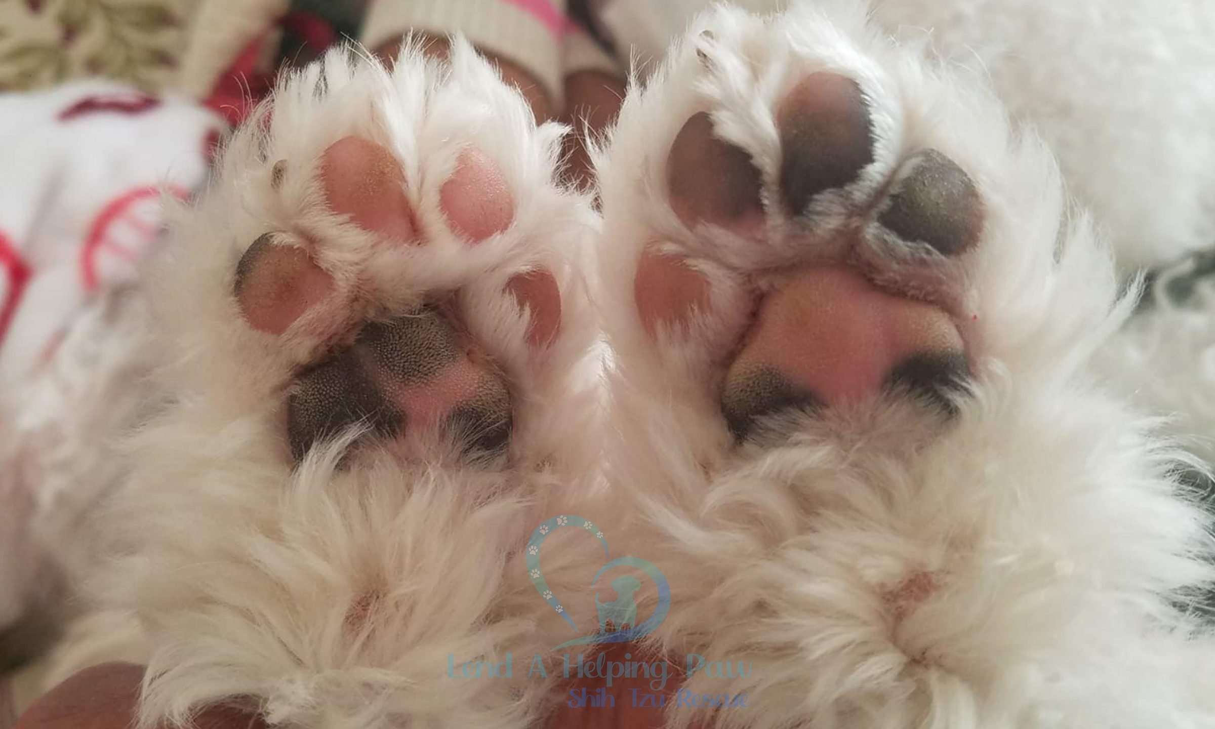 Kane Turner's paws with Lend A Helping Paw Shih Tzu rescue