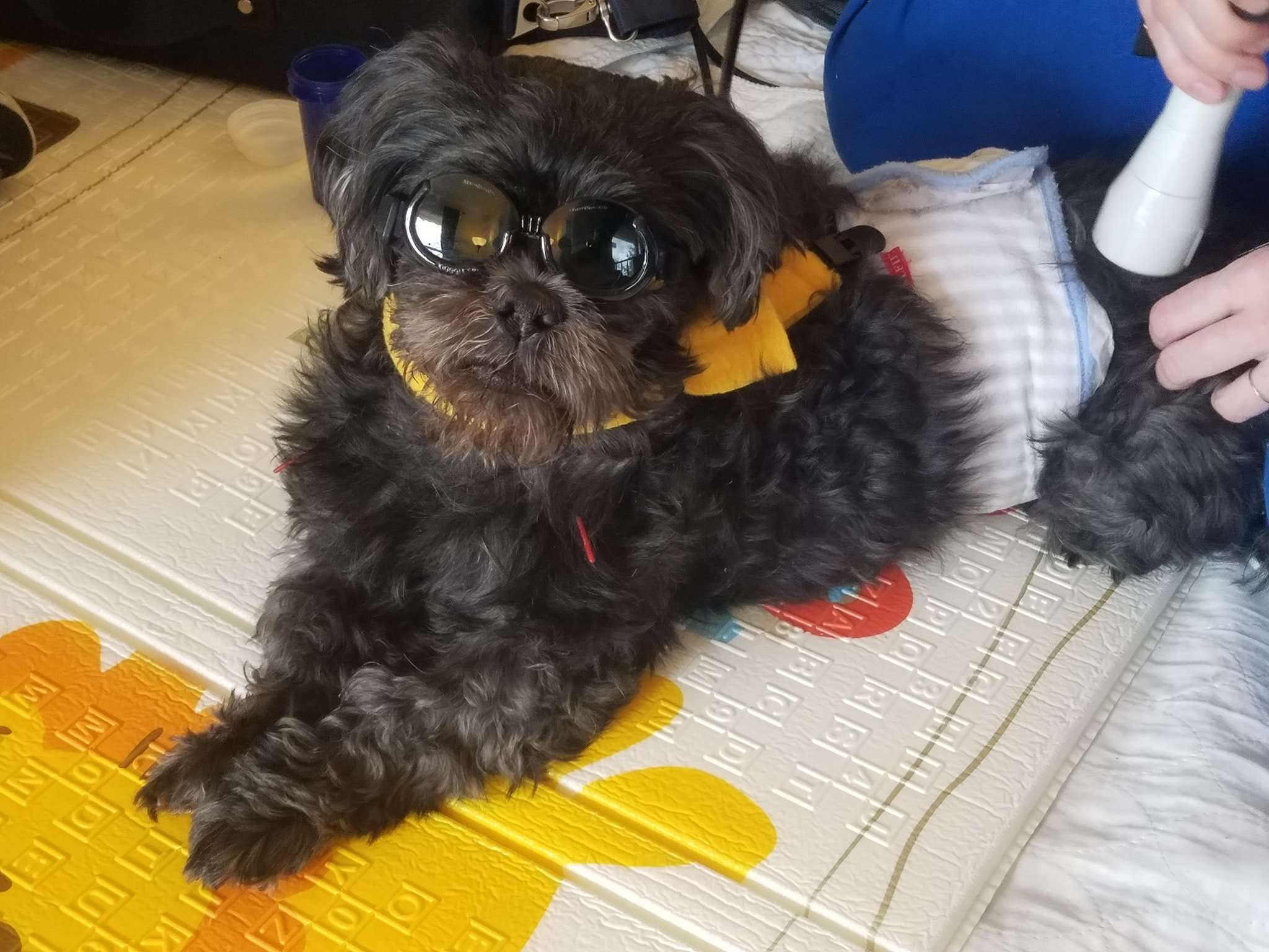 Teddy Bear Turner receiving laser therapy and acupuncture